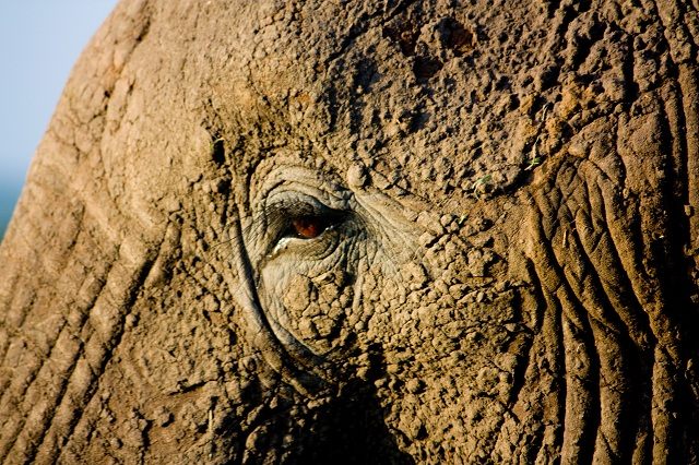Oeil d'éléphant - Safari en Afrique