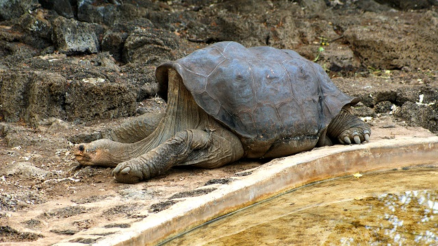 Lonesome George la tortue