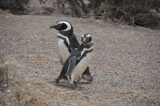 Manchot de Magellan, Punta Tombo, Province de Chubut, Argentine