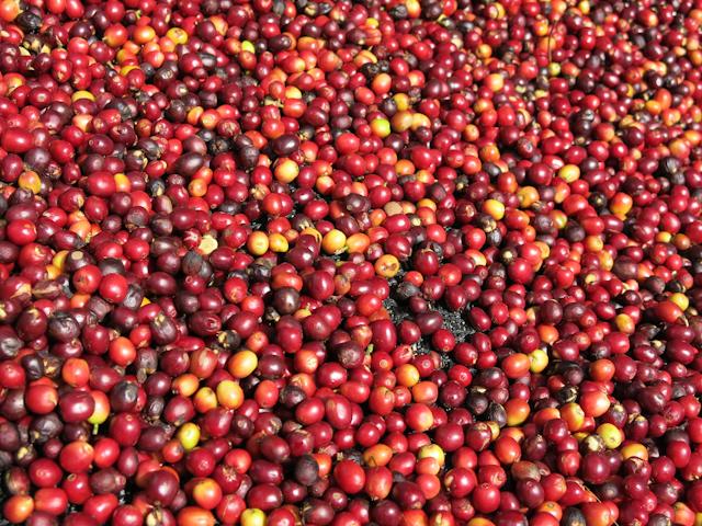 Cerises de café