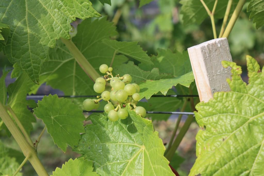 Le vignoble L'Isle de Bacchus
