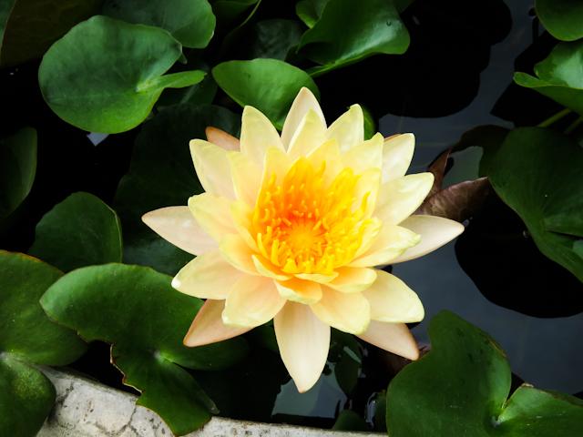 fleur nature Thailande Koh Samui