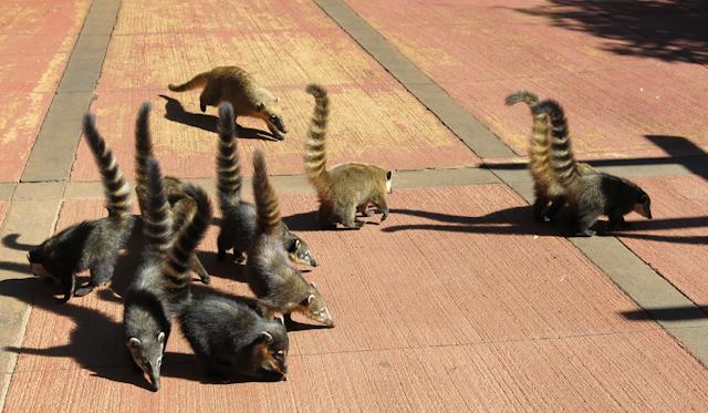 Des coatis règnent en rois sur le territoire des chutes d'Iguazu en Argentine