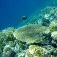 La Grande Barrière de corail mal en point Rien de nouveau dans ce fait, la Grande Barrière de corail se dégrade toujours […]