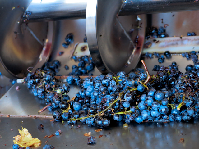On prépare le raisin - Mendoza, Argentine