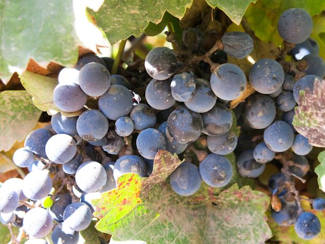 Raisins sur la grappe, prêts à être récoltés - Mendoza, Argentine
