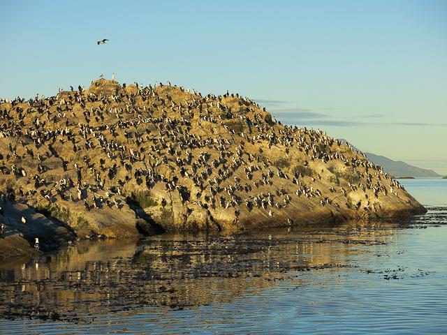 Cormorans - Ushuaia, Argentine