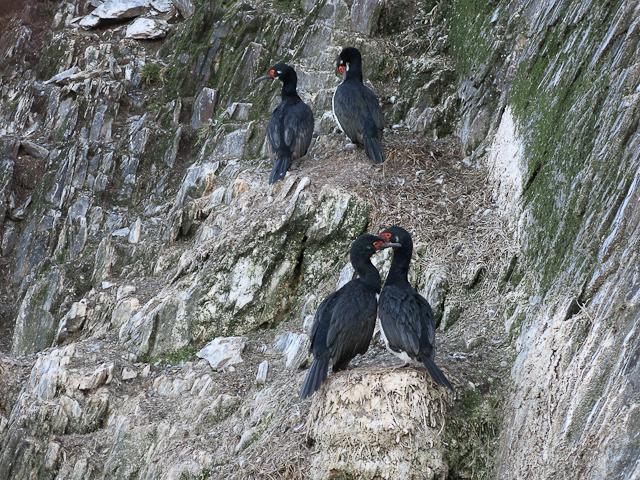 Cormorans sur l'Isla H - Ushuaia, Argentine