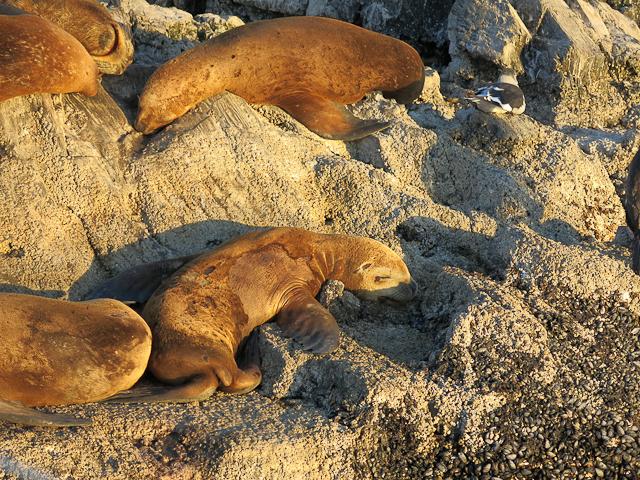 Lion de mer - Ushuaia, Argentine