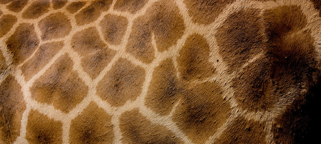 Peau de girafe - Safari en Afrique