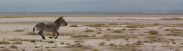 Zèbre en course - Safari en Afrique