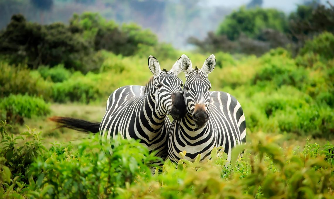 Zèbres en safari au Kenya - David Mark de Pixabay