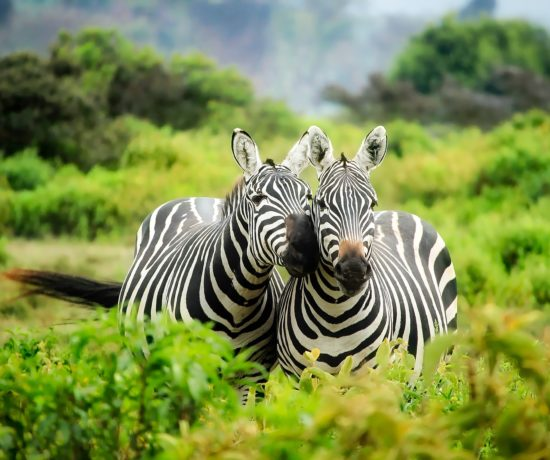 Zèbres en safari au Kenya - David Mark de Pixabay
