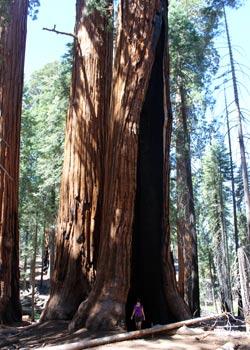 Marie dans les sequoias - Aventuriers voyageurs - Californie