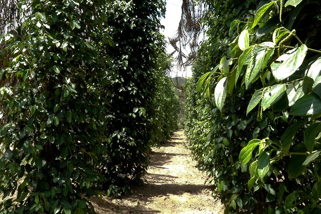Plantation de poivre - Kep, Cambodge