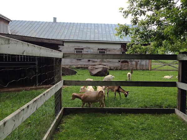 Chèvres de la Fromagerie du Vieux St-François - Laval, Québec