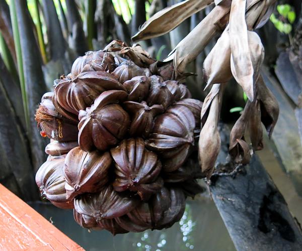 Fleur de palmier - Kampot, Cambodge