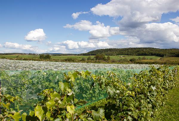 Vue des vignes - Vignoble de Sainte-Thècle - Mauricie, Québec