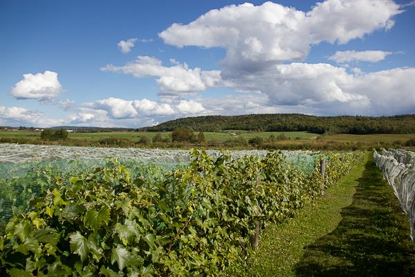 Les vignes du Vignoble Clos Sainte-Thècle, Mauricie