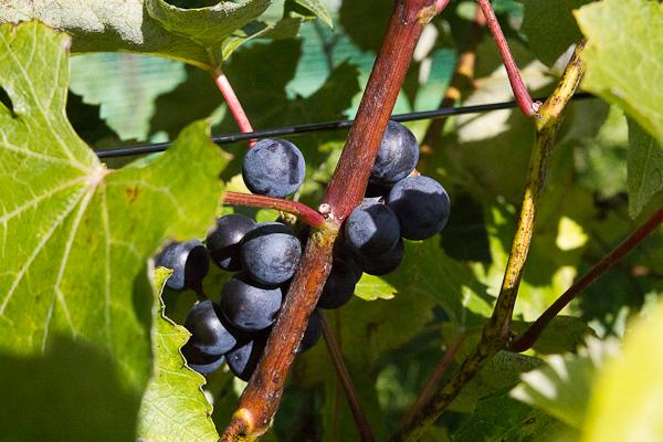Raisins sur la vigne - Vignoble Clos Sainte-Thècle, Mauricie