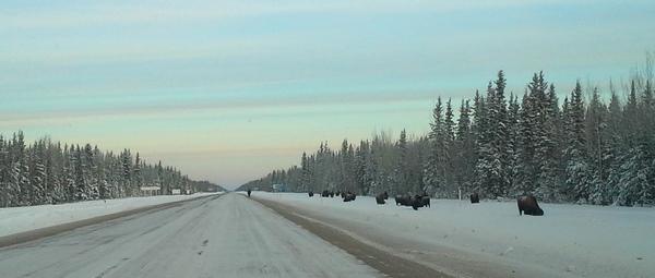 Bisons sur le bord de la route, TNO