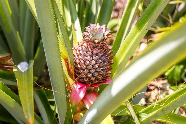 Poussée d'ananas un peu partout sur l'île - Little Corn Island, Nicaragua