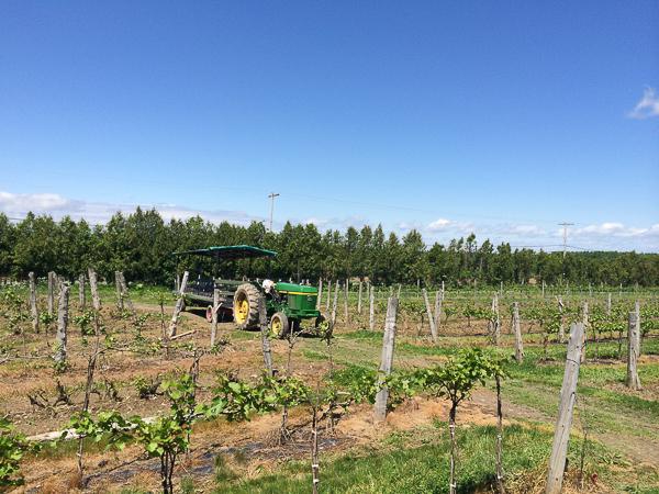 Vignes - Vignoble de La Bauge - Cantons de l'Est, Québec