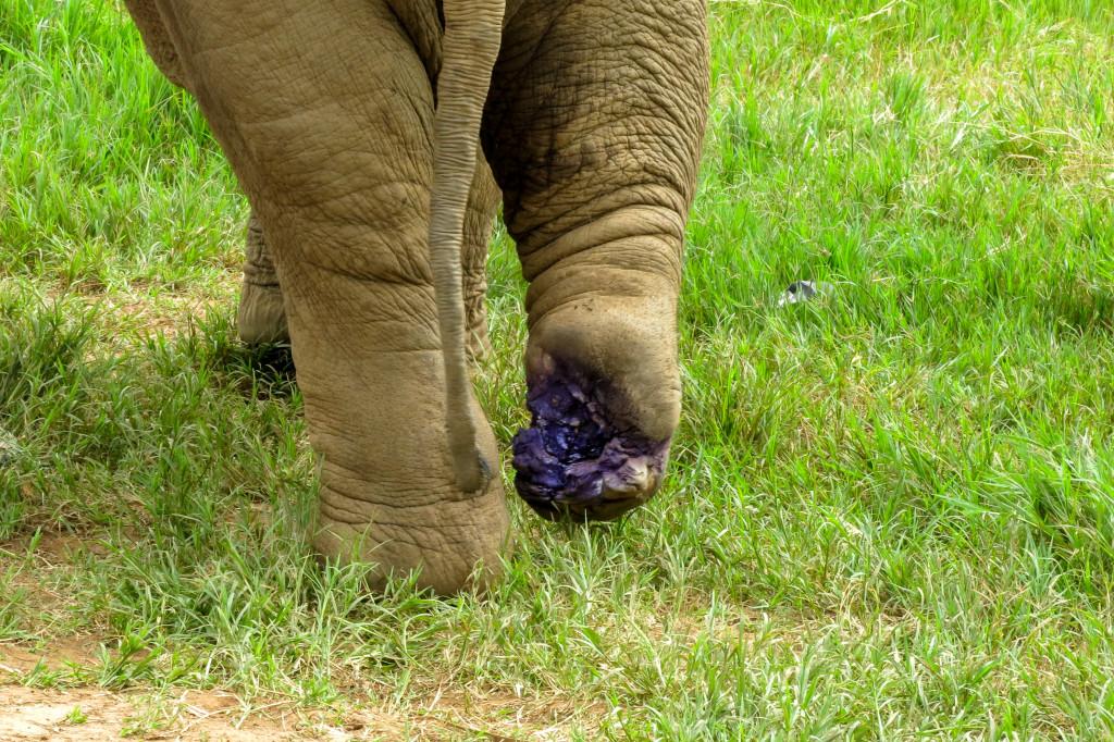 Éléphant à la patte blessée - Elephant Nature Park
