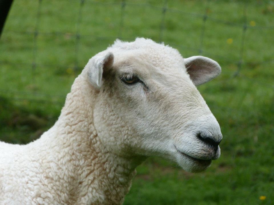 Mouton - Cédric