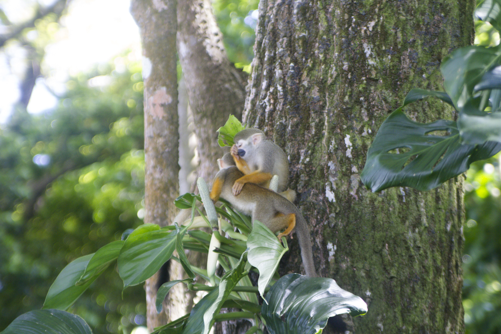 Saimiri - Guyane