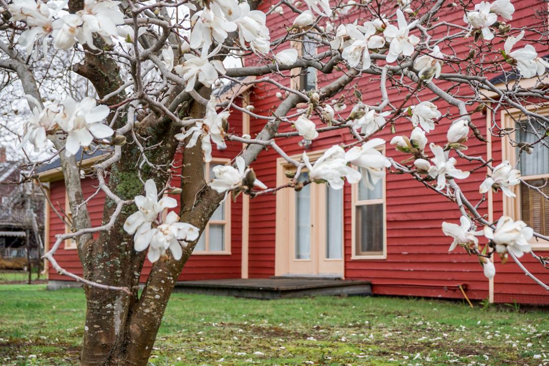 Arbre en fleurs - Charlottetown