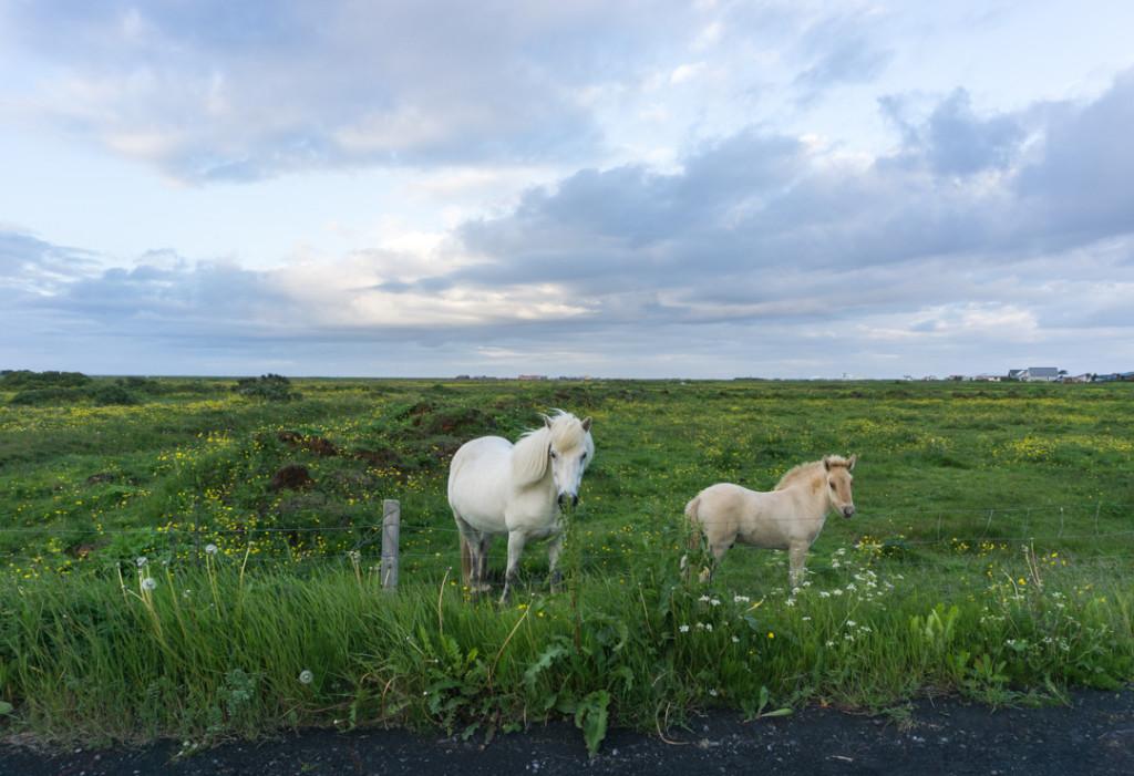 Chevaux sauvages Stokkseyri Islande