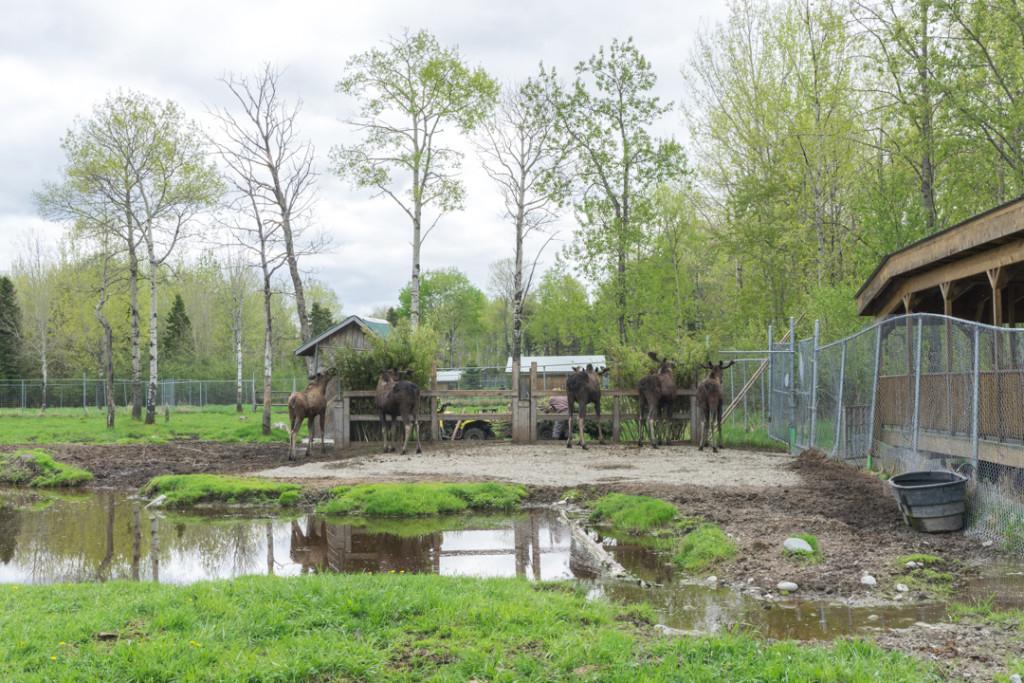 Refuge Pageau - Abitibi-Temiscamingue - Amos - Orignaux