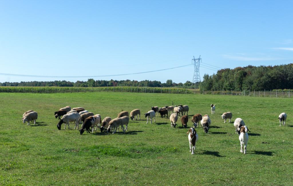 Chèvres et moutons du Verger Champêtre