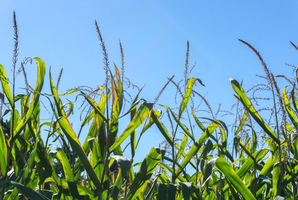Dans le champ de maïs ou de blé d'Inde au Verger Champêtre