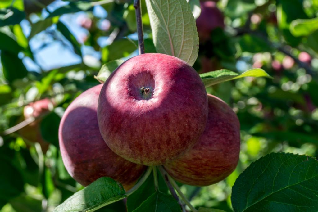 Pommes au verger