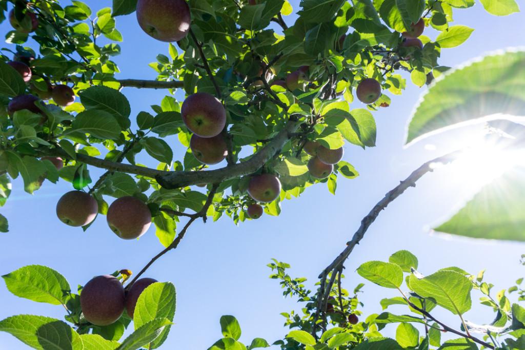 Pommes dans les arbres du Verger Champêtre