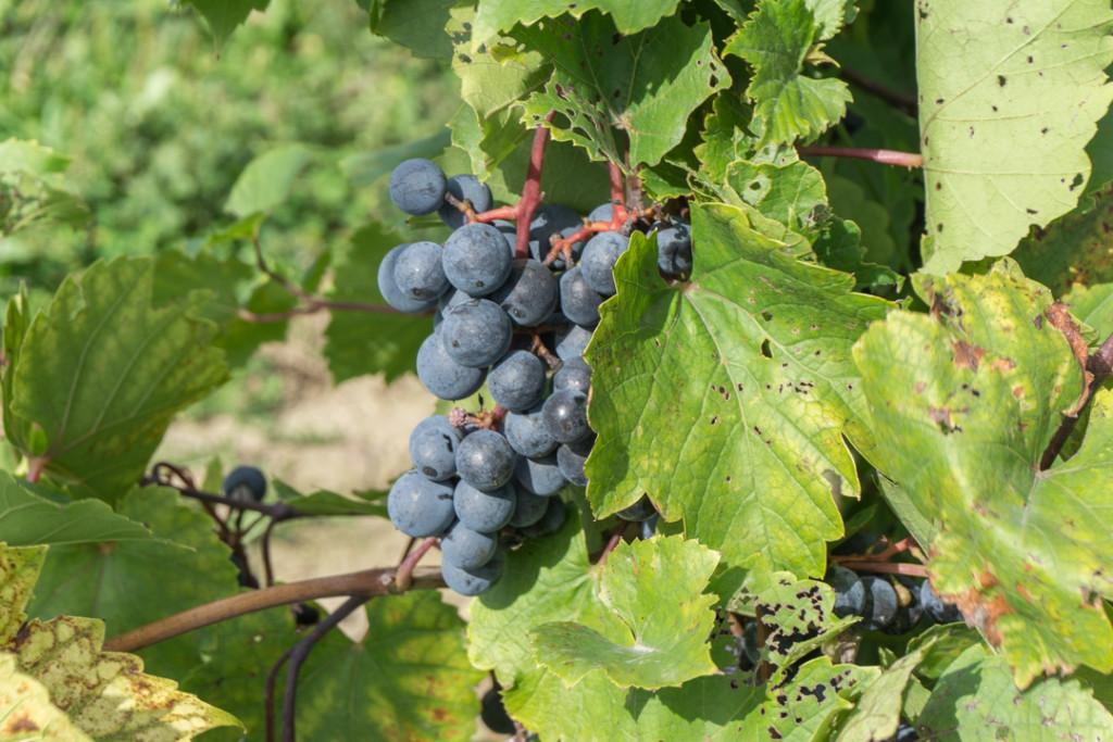 Grappe de raisins prêts pour les vendanges au Québec - Domaine De Lavoie