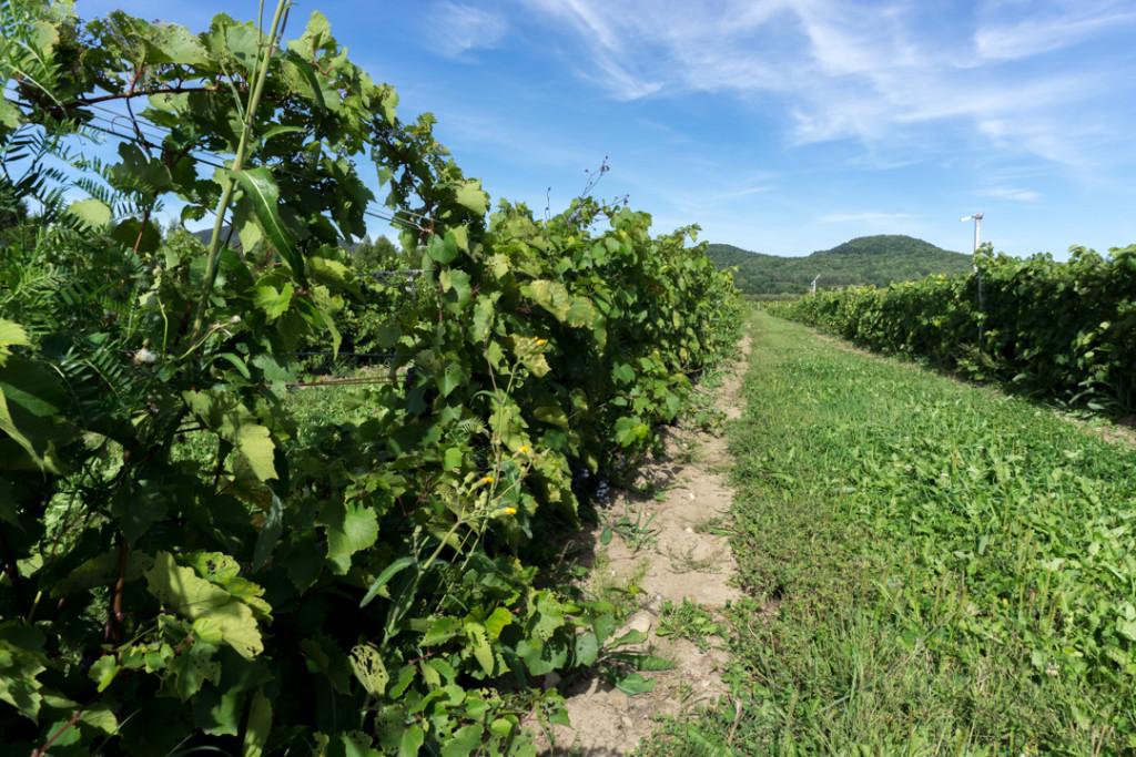 Entre les vignes - Montérégie, Québec