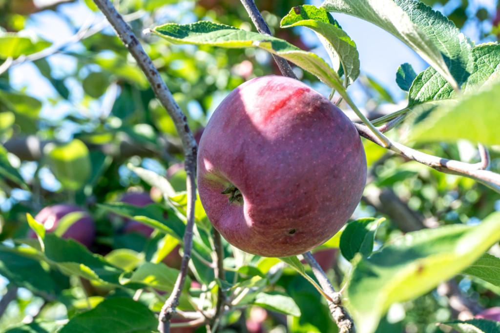 Autocueillette de pommes au Verger Champêtre de Montérégie