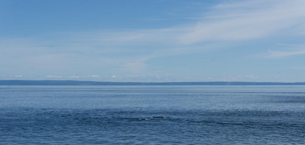 Une baleine au loin - Voyage à Tadoussac au Québec