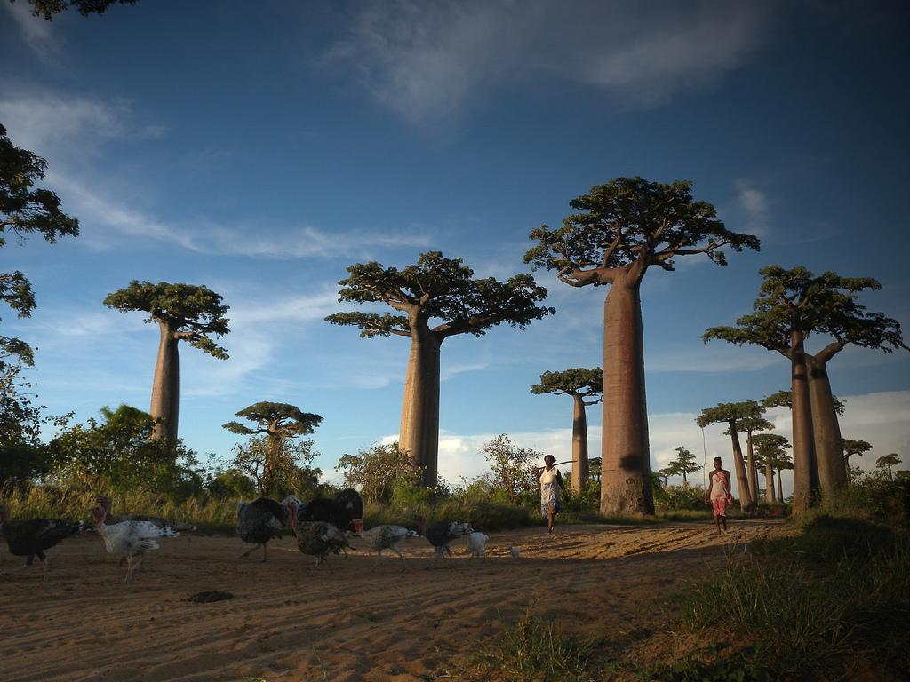 Allée des baobabs près de Morondava Madagascar - Flickr Frank Vassen