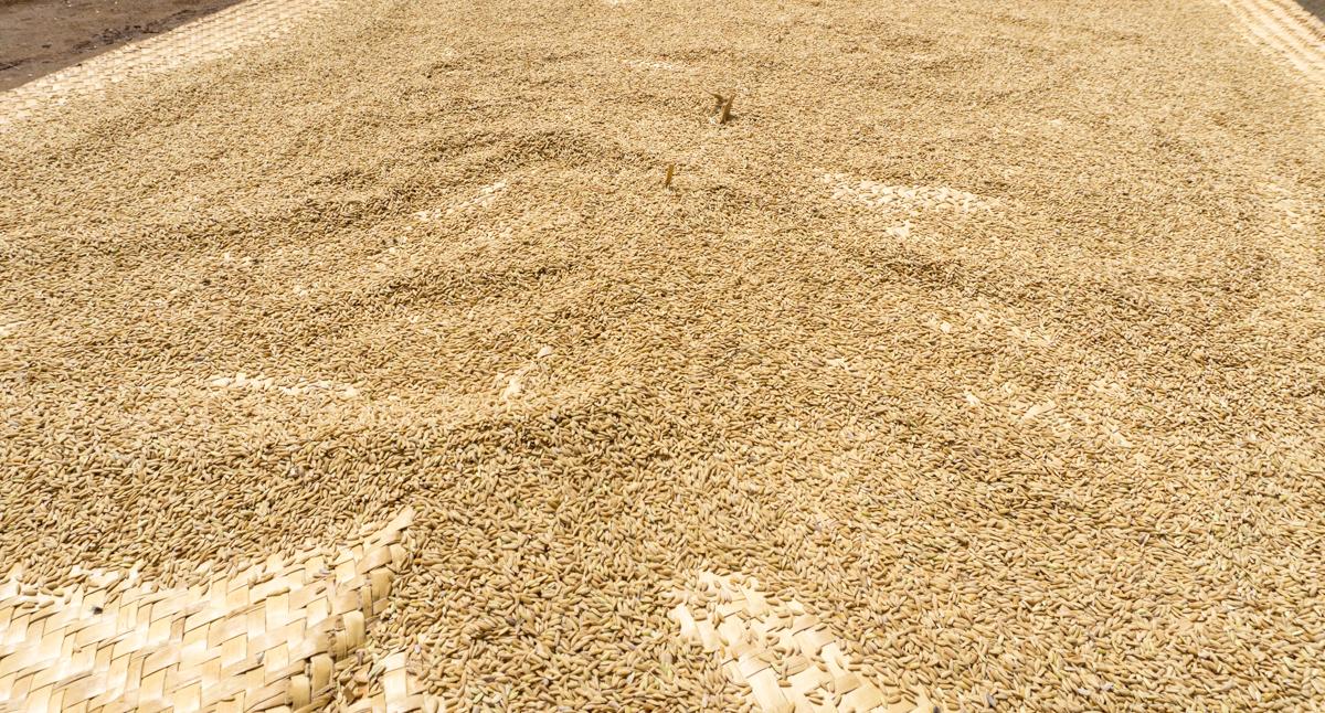 Riz qui sèche au soleil d'Anjozorobe avec Village Monde