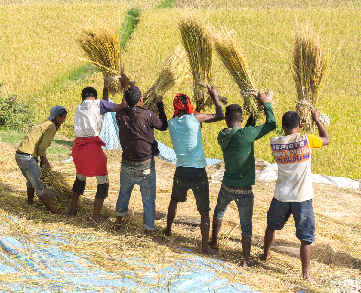Villageois malgache en train de frapper le riz pour en ressortir les grains à Anjozorobe