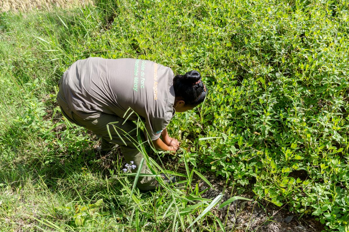 Guide malgache dans un champ de cacahuètes à Madagascar
