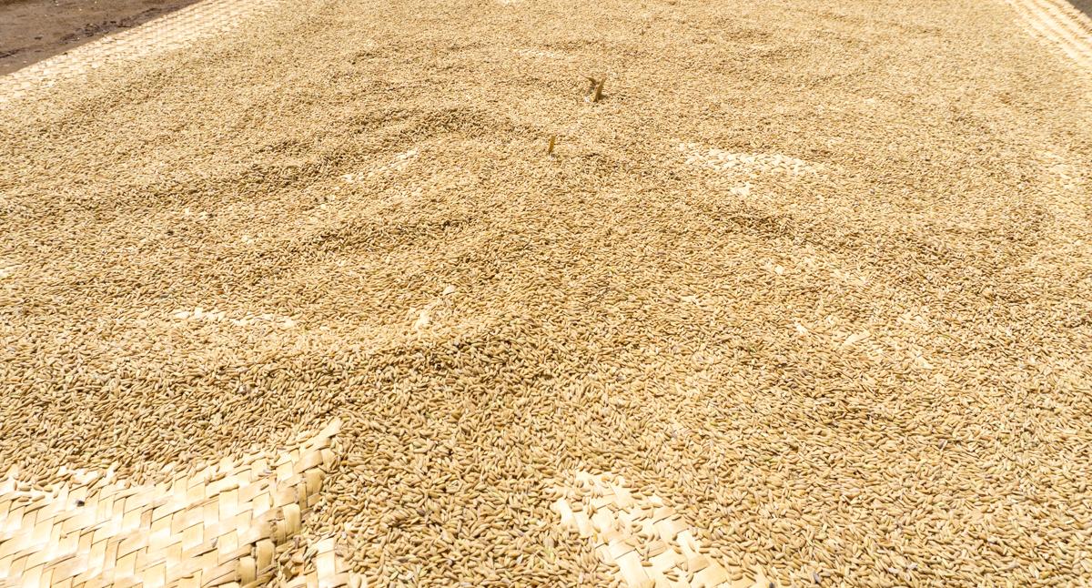 Lit de riz séchant au soleil