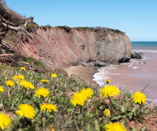 Pissenlits et falaise de l'île Boudreau