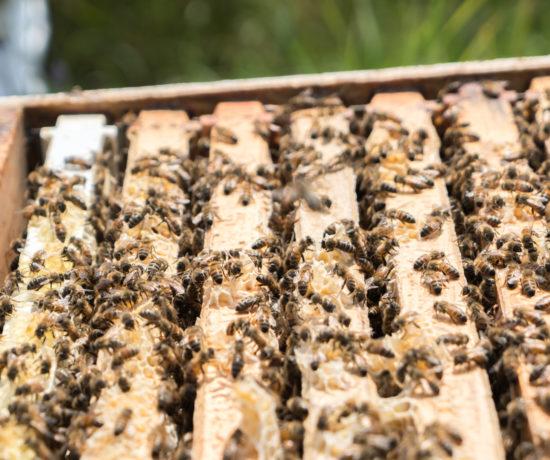 Abeilles dans la ruche et les rayons - Miellerie Charlo