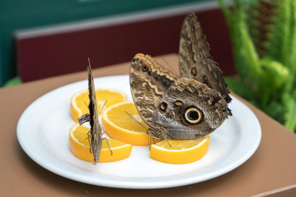 Papillons posés sur des tranches d'orange au Jardin botanique du Nouveau-Brunswick à Edmundston