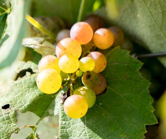 Raisins en grappe pour vendanges - Val Caudalies - Route des vins - Brome-Missisquoi